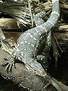 Long lizard with a pointed triangular head and green-brown scales interrupted by yellow oval formations in striped patterns and a thick tail straddling two logs