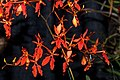 Renanthera Tom Thumb 'Flicka' at the Pacific Orchid Exposition 2010.jpg