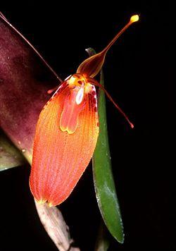Flores de Restrepia cuprea