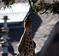 Reticulated Giraffe (2315235137).jpg