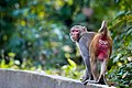 Rhesus Macaque walking.jpg