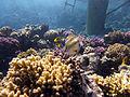 Rhinecanthus assasi - Rotmeer-Picassodrueckerfisch 0579.jpg