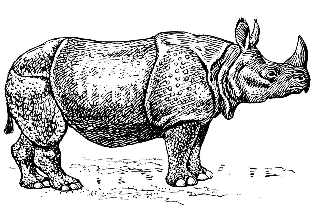 Line Drawing Rhino : File rhinoceros psf wikimedia commons