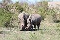 Rhinoceros in Kruger National Park 02.jpg