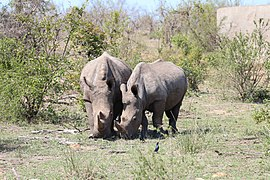 Rhinoceros in Kruger National Park 02.jpg