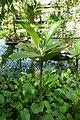 Rhizophora mucronata-Jardin botanique Meise (3).jpg