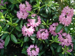 Catawba-Rododendron i blomstring.