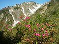 Rhododendron albrechtii in Mount Sanpokuzure 2008-05-27.jpg