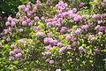 Rhododendron at Aberdulais Tin Works (4981).jpg