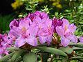 Rhododendron catawbiense 14.JPG