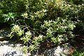 Rhododendron degronianum ssp. yakushimanum - VanDusen Botanical Garden - Vancouver, BC - DSC07104.jpg