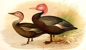 Pink-headed duck - Male and female as illustrated by Henrik Grönvold