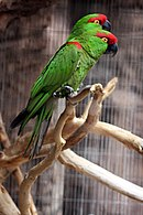 A green parrot with a bright red forehead