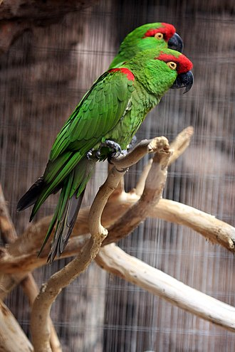 Thick-billed parrot - At Arizona-Sonora Desert Museum, Tucson, Arizona, United States