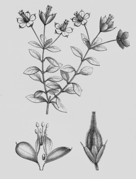 Rhynchotheca spinosa.png