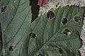 Rhytisma acerinum. Mature 1962 (22843269348).jpg
