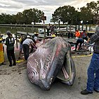 Rice's whale washed up at Everglades National Park