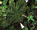 Ridleyandra chuana habitus - PhytoKeys-025-015-g001-A.jpeg