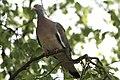 Ringeltaube (Columba palumbus) im Baum 2.jpg