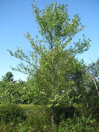 Betula nigra - Image: River Birch at Skyfields Arboretum, Athol MA