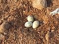 River tern-Nest 03 - Koyna 042011.JPG