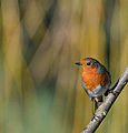 Robin admiring the sunshine in winter!! (11550945564).jpg