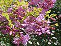 Robinia hispida - Flickr - peganum.jpg