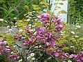 Robinia hispida - Flickr - peganum (2).jpg