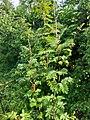Robinia pseudoacacia, Fabaceae 01.jpg