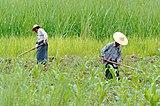 Rolnicy nad Jeziorem Inle w Mjanmie, 20160806 8493.jpg