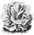 Romaine ballon Vilmorin-Andrieux 1883.png