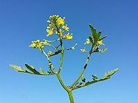 Rorippa sylvestris (s. str.) sl10.jpg