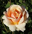 Rosa Diamond Jubilee.jpg