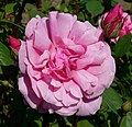 Rosa Improved Cecil Brunner 2.jpg
