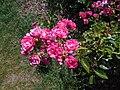 Rosa Lovely Fairy 2018-07-10 5585.jpg