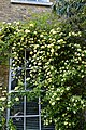 Rosa banksiae 'Lutea', Lady Banks' rose at Myddelton House, Enfield, London 02.jpg