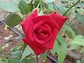 Rosa indica cultivator at Madhurawada 01.JPG