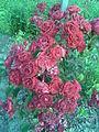 Rosales - Rosa cultivars 2 - 2011.07.11.jpg