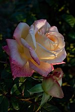 Rose, Diana Princess of Wales - Flickr - nekonomania.jpg