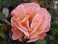 Rose (Rosa) (08).jpg