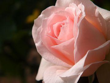 Rose Johann Strauss バラ ヨハン シュトラウス (6321827017).jpg