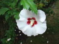 Rose of sharon 2.JPG