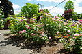Roses with identification card at Eastman Memorial Rose Garden - Hillsboro, Oregon.JPG