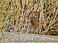 Rosy Pipit (Anthus roseatus) (23098777805).jpg