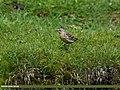 Rosy Pipit (Anthus roseatus) (27464202113).jpg
