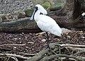 Royal Spoonbill (Bird enclosure) Wildlife Habitat Port Douglas, Queensland (32116340706).jpg