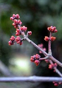 Acer Rubrum Wikipedia