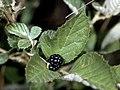 Rubus cuneifolius NRCS-1.jpg