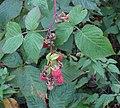 Rubus idaeus 3 RF.jpg