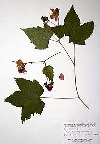Rubus odoratus BW-1979-0618-0640.jpg